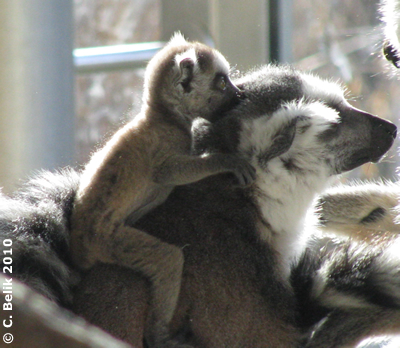 Katta-Baby mit Mama, 23. Februar 2010
