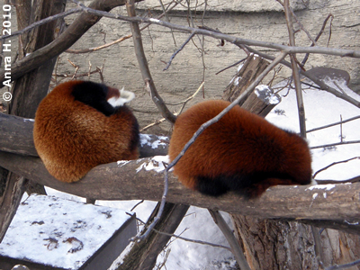 Rote Pandas, 7. Februar 2010