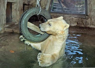 Der zukünftige Mitbewohner von Arktos & Nanuq: Eisbärbub Sprinter im Zoo Amsterdam (Foto: Artis Amsterdam)