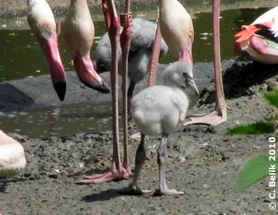 Flamingo-Küken, 9. Mai 2010