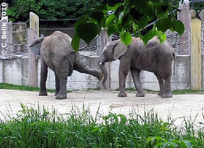 Treten ist aber fies! Mongu (li) und Kibo (re), 9. Mai 2010