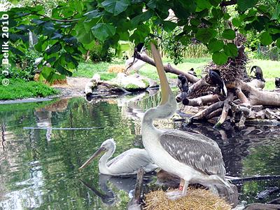Pelikan, 28. Mai 2010