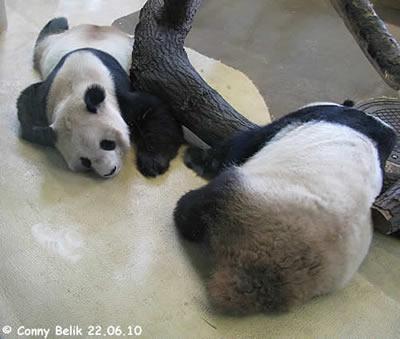 Schlafende Pandas sind wir ja gewöhnt: Yang Yang und Long Hui, 22. Juni 2010