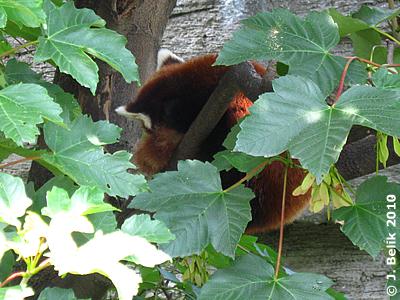 Roter Panda #2, 26. Juni 2010