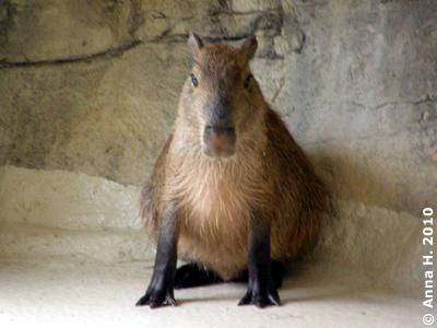 Capybara oder Wasserschwein, 20. Juni 2010