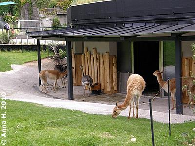 Vikunjas und Nandus vor dem kleinen Haus mit der Besucherterrasse, 10. Juni 2010