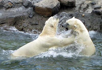 Im Schubsen hat Arktos vom Herumbalgen mit seinem Zwillingsbruder große Erfahrung! Arktos (li) und Sprinter (re), 31. Juli 2010