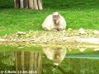 Capybara im Südamerika-Park, 13. August 2010