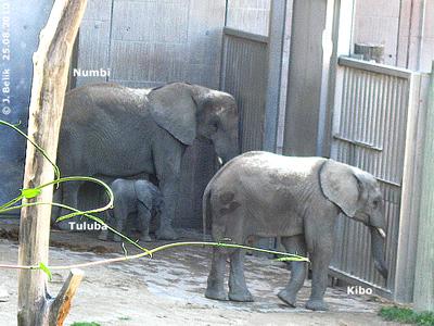 Dei Wuppertaler Elis-Familie: Kibo, Baby Tuluba und Mama Numbi, 25. August 2010