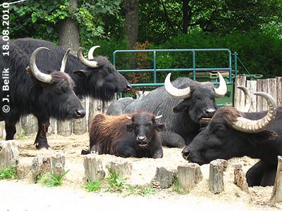 Wohl behütetes Wasserbüffelmädchen Günni, 18. August 2010