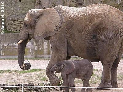 Numbi mit ihrem Mini-Eli, 9 Tage alt, 15. August 2010