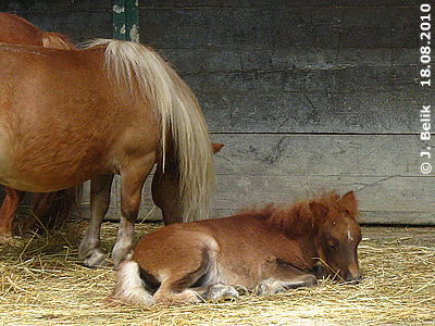 Sooo ein müdes Mini-Fohlen! Pias Baby, 18. August 2010