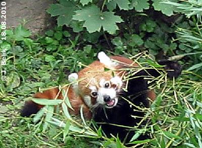 Das ist sooo lecker! Roter Panda , 18. August 2010