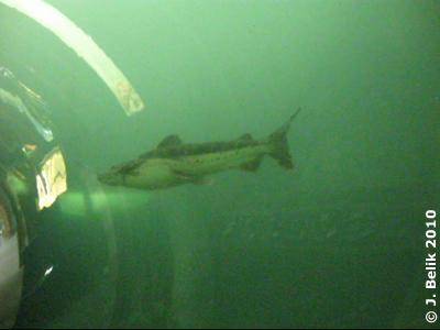 Rechts unterhalb des Fisches schwimmt auch was, nur kann man es kaum erkennen, 16. September 2010