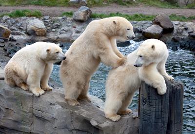 Die drei Eisbärbuben friedlich vereint, 22. Oktober 2010