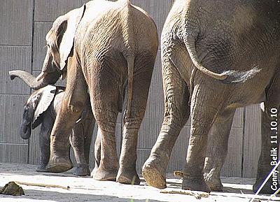 Kibo mit Brüderchen und Mama Numbi, 11. Oktober 2010