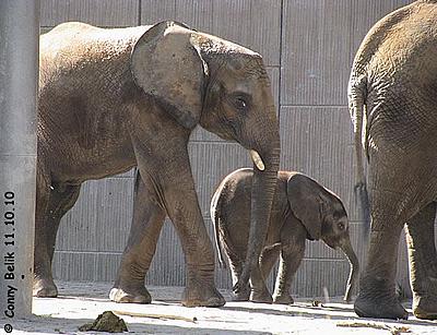 So ist Kibo ein glückliches Elefantenkind - zusammen mit Brüderchen Tuluba und Mama Numbi, 111. Oktober 2010