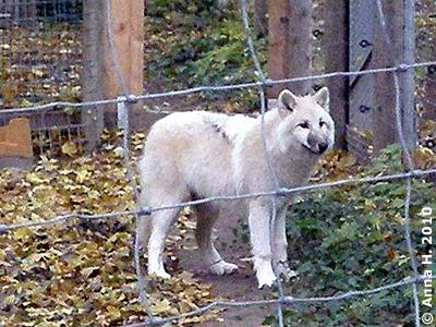 Die neue Wölfin im Tiergarten Schönbrunn, 24. Oktober 2010