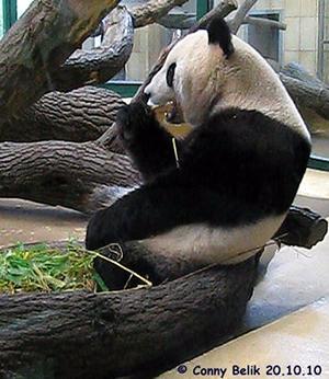 Während Zwergi in der Wurfbox schläft, gönnt sich Mama Yang Yang eine kurze Auszeit, 20. Oktober 2010