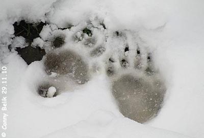 Spuren im Schnee 1 - von welchem Tier? 29. November 2010