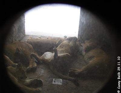 Kalte Füße? - Nein Danke! Die Löwen lieben ihre Fußbodenheizung, 29. Novemer 2010