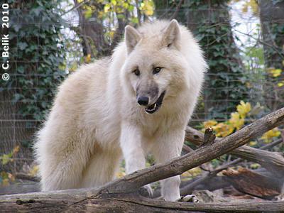 Wölfin, 6. November 2010
