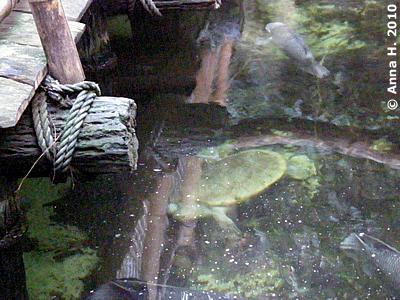 Das könnte eine Batagur sein, Regenwaldhaus, 12. Dezember 2010