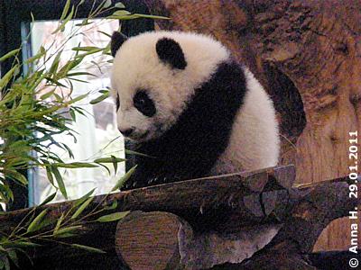 Fu Hu, 29. Jänner 2011