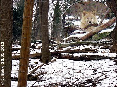 Jungwolf Ide wartet aufs Futter, 30. Jänner 2011
