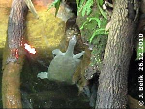 Indische Klappenschildkröte, 26. Dezember 2010