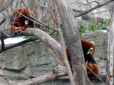Rote Pandas, 30. Jänner 2011