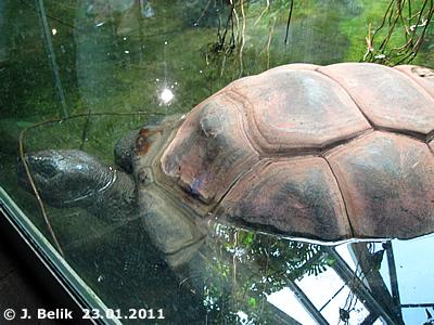 Schurli liegt gerne im Wasserbecken der Riesenschildkrötenanlage, 23. Jänner 2011