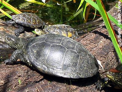 Europäische Sumpfschildkröten, 8. September 2009