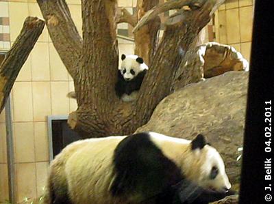 Fu Hu und Yang Yang, 4. Februar 2011