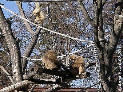 Gibbons, 8. Februar 2011