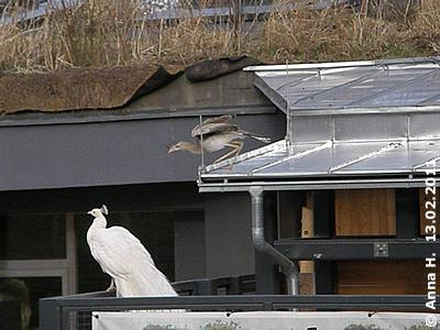 Was macht Herr Seriema auf dem Dach oben? Er will doch nicht schon wieder auf Wanderschaft gehen? 13. Februar 2011