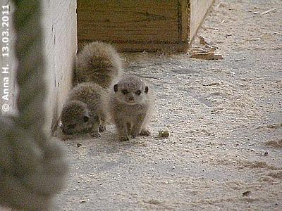 Erdmännchen-Babys, 13. März 2011