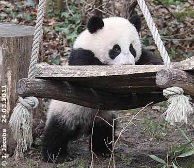 Fu Hu, 25. März 2011
