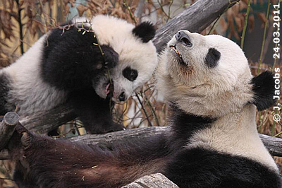 Fu Hu und Mama Yang Yang, 25. März 2011