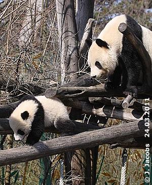 Fu Hu, 7 Monate alt, mit Mama Yang Yang bei seinem ersten Ausflug in die Außenanlage, 25. März 2011