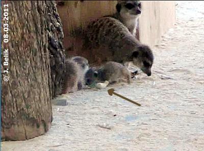 Autsch, was ist da bloß passiert? Erdmännchen-Baby mit Gipsbein, 8. März 2011