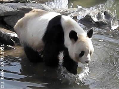 Pandapapa Long Hui, 25. März 2011