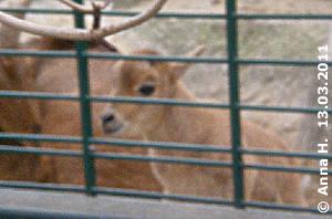 Erst wenige Stunden auf der Welt und schon eine riesen Neugierdsnase, Mähnenspringer-Baby, 13. März 2011