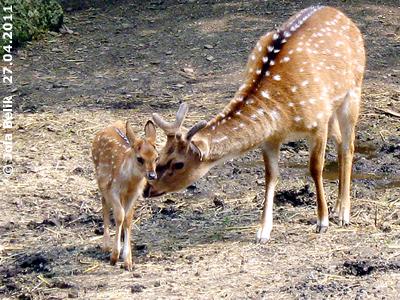 """So stellt man sich """"Bambi"""" vor! Axishirsch-Baby, wenige Tage alt, 27. April 2011"""