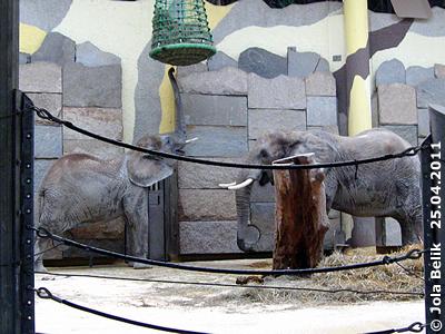 Mongu ist fast zu klein für den Heu-Korb, 25. April 2011