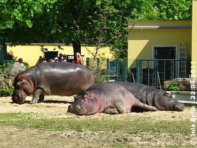 Auch die Flußpferde liegen in der Sonne, 22. April 2011