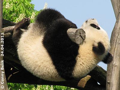 Fu Hu sieht man entweder schlafen oder auf einem Baum herum baumeln ...