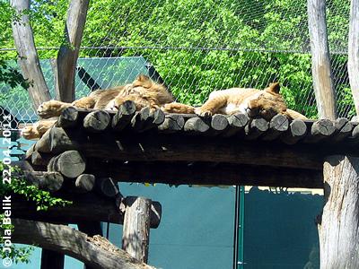 Die Löwen sowieso, 22. April 2011