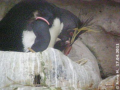 Der Winzling wird von den Eltern liebevoll umsorgt, 17. April 2011