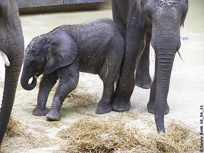 Praktisch, wenn der große Bruder als Stütze stehen bleibt! Tuluba (li) und Kibo (re), 10. April 2011